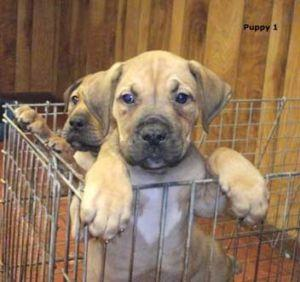 South African Boerboel Puppies Born For sale - Sachuru