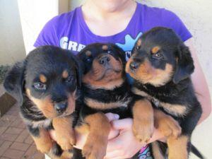 Rottweiler Puppies For Sale Bulawayo Zimbabwe Free Classifieds