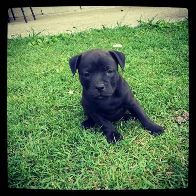 english staffordshire terrier for sale english staffordshire bull terrier puppies for sale 447