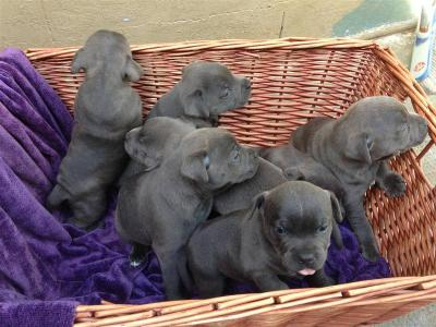 Blue Staffy For Sale : Pedigree blue english staffy pups for sale melbourne australia