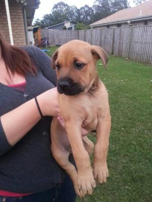 Playful Staffy X Puppies For sale - Melbourne, Australia - Free