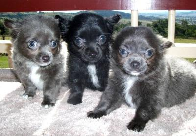 PURE BRED LONG HAIR CHIHUAHUA PUPPIES FOR SALE - Brisbane