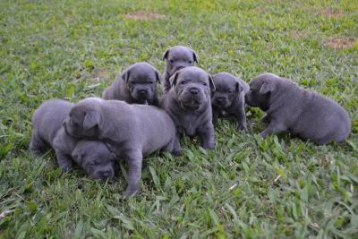 Blue Staffy For Sale : Blue english staffy staffordshire bull terrier puppies for sale