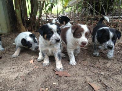Border collie x cattle dog