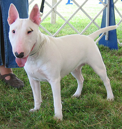 Bull Terrier Puppies on Pakistan Bull Terrier Breeders  Grooming  Dog  Puppies  Reviews