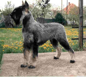 Giant Schnauzer Puppies on Pakistan Giant Schnauzer Breeders  Grooming  Dog  Puppies  Reviews