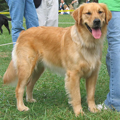 golden retriever dogs puppies. Grooming, Dog, Puppies,