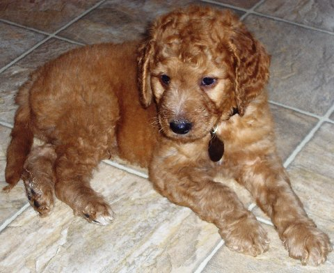 Goldendoodle Puppies on India Goldendoodle Breeders  Grooming  Dog  Puppies  Reviews  Articles