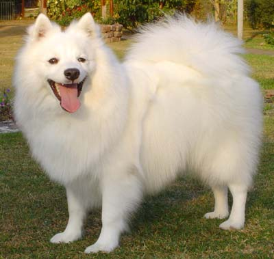 India Japanese Spitz Breeders, Grooming, Dog, Puppies, Reviews