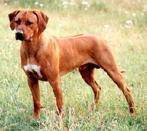 Rhodesian Ridgeback Rescue Dogs