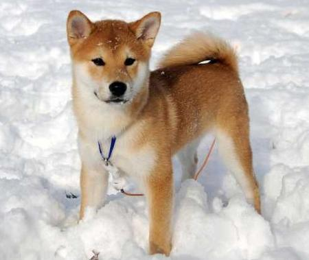 Shiba  Puppies on India Shiba Inu Breeders  Grooming  Dog  Puppies  Reviews  Articles