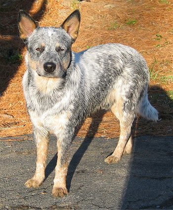 Uk Australian Cattle Dog Breeders Grooming Dog Puppies Reviews