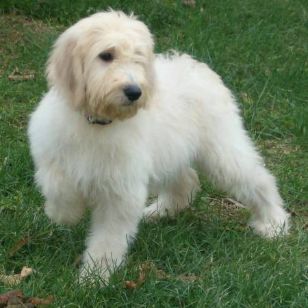 Goldendoodle Puppies on Usa Goldendoodle Breeders  Grooming  Dog  Puppies  Reviews  Articles