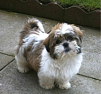Shih  Puppies on Uk Shih Tzu Breeders  Grooming  Dog  Puppies  Reviews  Articles