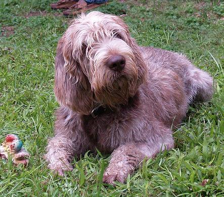 Spinone Italiano Puppy Breeders uk Spinone Italiano Breeders