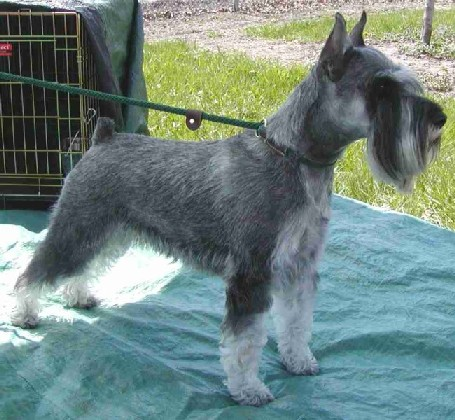 usa standard schnauzer breeders grooming dog puppies reviews articles muamat. Black Bedroom Furniture Sets. Home Design Ideas