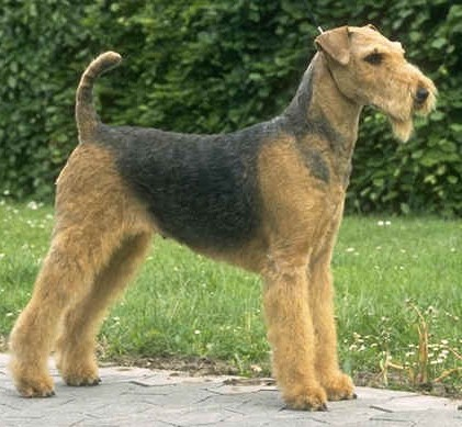 Airedale Puppies on Australia Airedale Terrier Breeders  Grooming  Dog  Puppies  Reviews