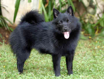 Schipperke Puppies on Canada Schipperke Breeders  Grooming  Dog  Puppies  Reviews  Articles
