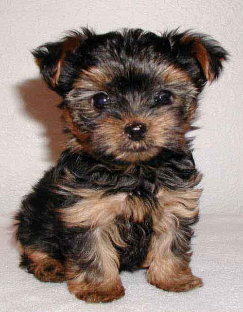 Ireland yorkshire terrier breeders, grooming, dog, puppies, reviews