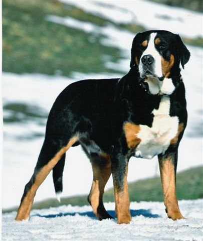 Greater Swiss Mountain Dog Puppies Michigan