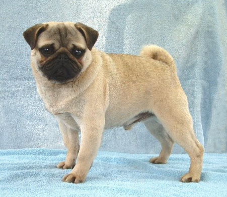 Puppies on Philippines Pug Breeders  Grooming  Dog  Puppies  Reviews  Articles