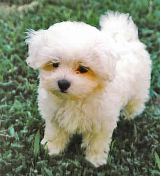 Small Puppies on Maltese Breeders  Grooming  Dog  Puppies  Reviews  Articles   Muamat