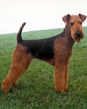Airedale Puppies on New Zealand Airedale Terrier Breeders  Grooming  Dog  Puppies  Reviews