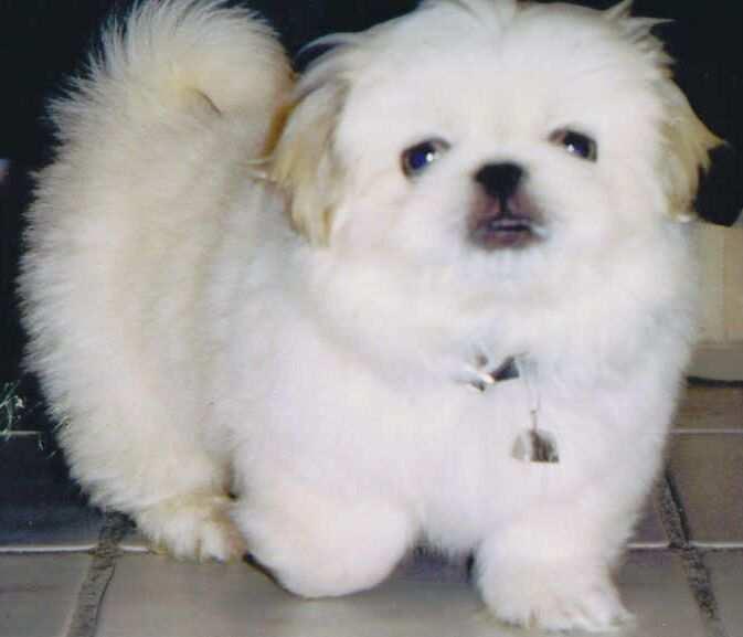 Indonesia Pekingese Breeders, Grooming, Dog, Puppies, Reviews