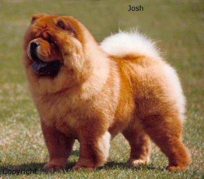 Singapore Chow Chow Breeders, Grooming, Dog, Puppies, Reviews ...