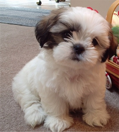 Shih  Puppies on Malaysia Shih Tzu Breeders  Grooming  Dog  Puppies  Reviews  Articles