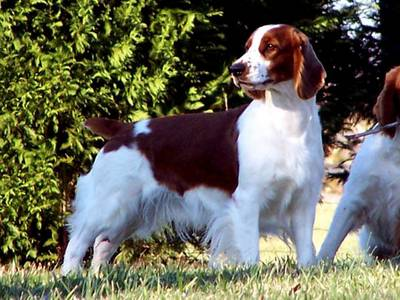 Singapore Welsh Springer Spaniel Breeders, Grooming, Dog, Puppies, Reviews,