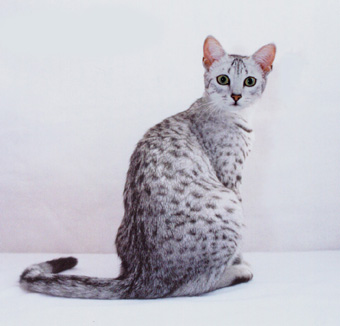 Egyptian Mau cat Breeders,