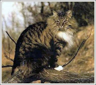 Pakistan, Norwegian Forest