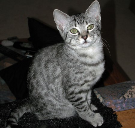 UK Egyptian Mau Breeders,