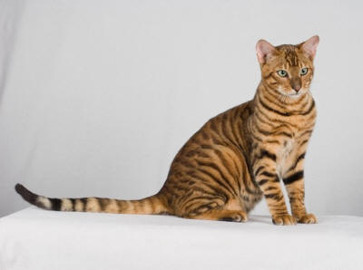 USA Toyger Breeders, Grooming, Cat, Kittens, Reviews, Articles - Muamat