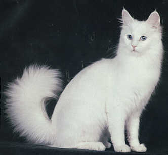 UK Turkish Angora Breeders,