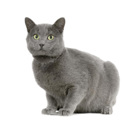 Ireland Chartreux Breeders