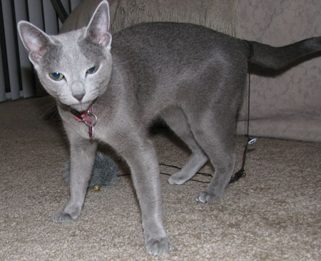 Russian Blue Breeders,