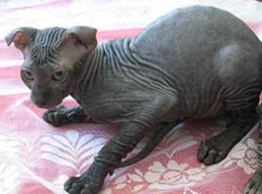 Malaysia Ukrainian Levkoy Breeders Grooming Cat Kittens Reviews